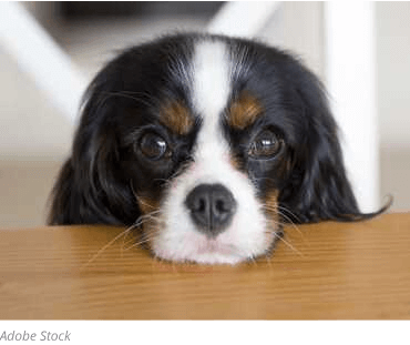 joyful-pets-adopt-dog-begging-at-table