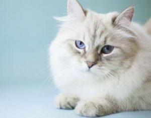 joyful-pets-adopt-siberian-cat