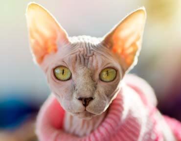 joyful-pets-adopt-sphynx-cat