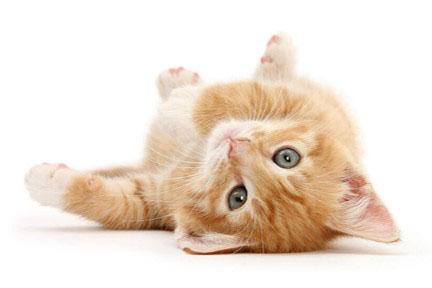 golden cat for adopt